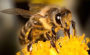 Photoof bee on sunflower
