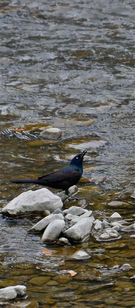 Crow on a Rock in the River