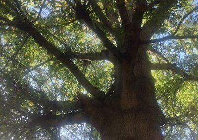Oak Tree at 1217 W Murray Ave