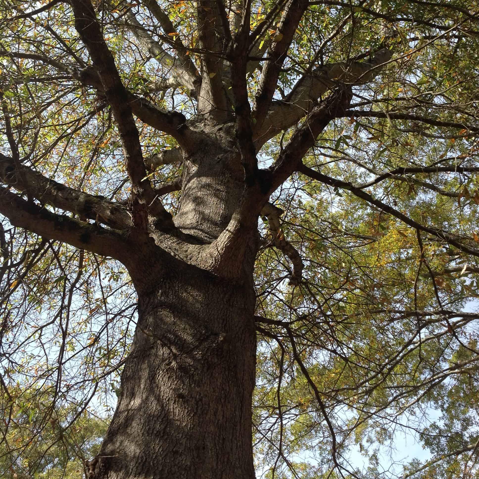 Oak canopy study in 4