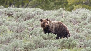 Grizzly in summer meadow at Yellowstone