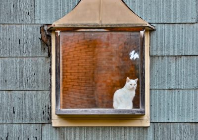 White Cat in Window Franklin Crawford