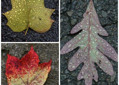 Franklin Crawford Leaf Image
