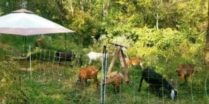 Goats getting long term contract to eat Pittsburght's weeds