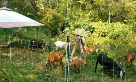 Goats contribute to healthy soil and ecosystems overall