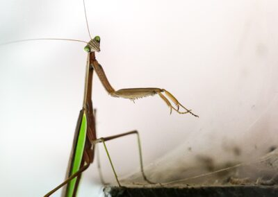 ben-eubank-dark green praying mantis-unsplash