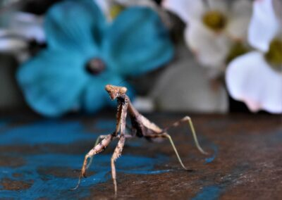 joshua-charles-praying mantis up close dark mottled green-unsplash