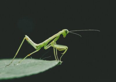 peek_a_boo-Praying Mantis poised on edge of leaf_KE-unsplash