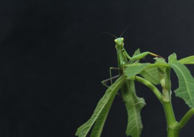 zoran-ozetski-Praying Mantis light green on light green branch-unsplash