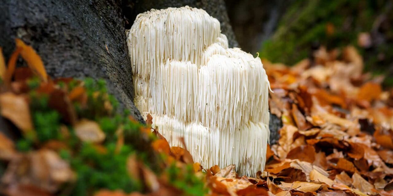 What is all the fuss about Lion's Mane Mushrooms?