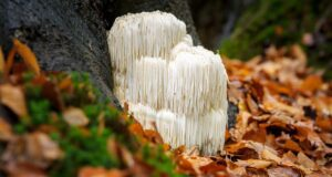 Lions Mane mushroom at base of tree