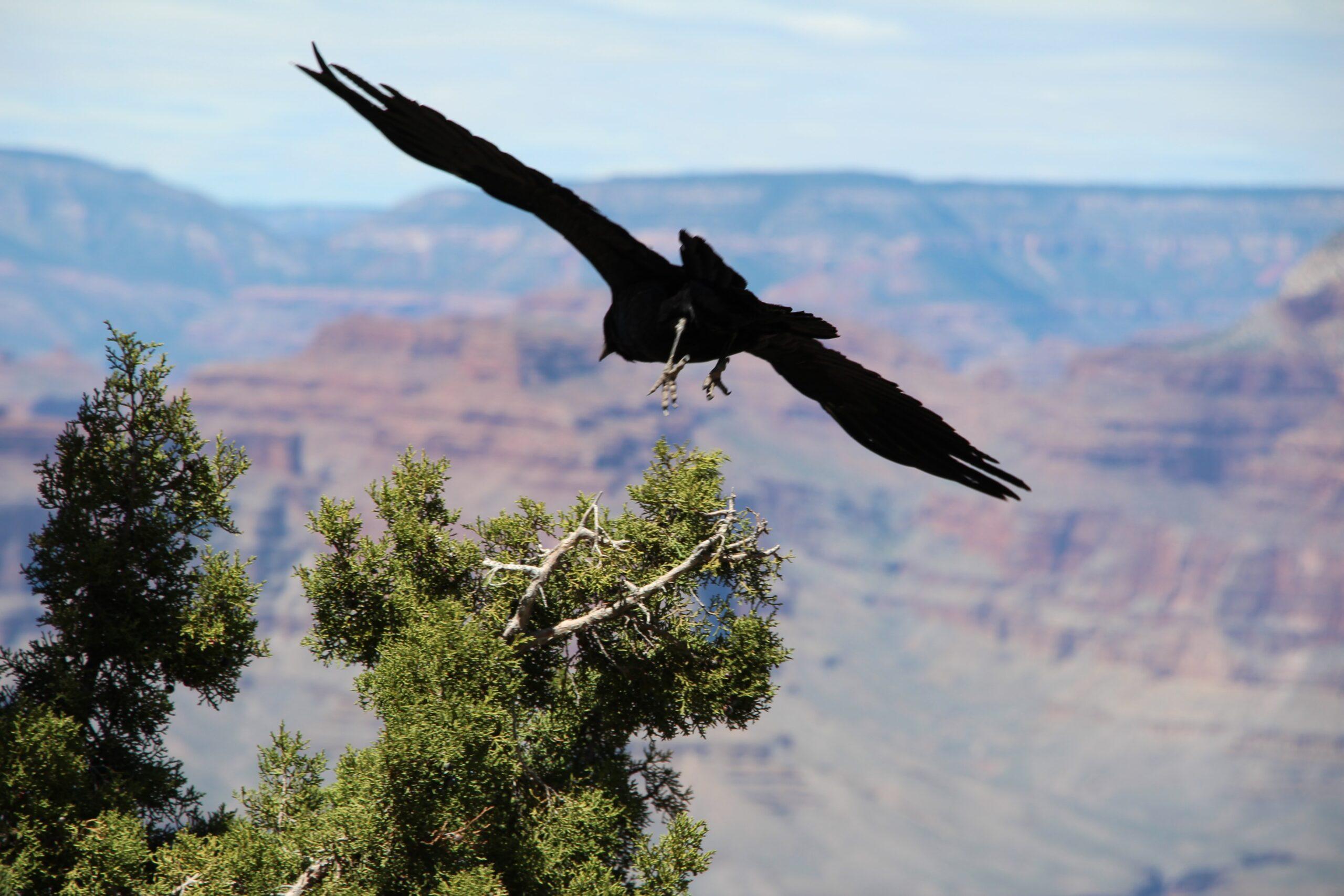 Black Crow in flight high desert Alex povolyashko