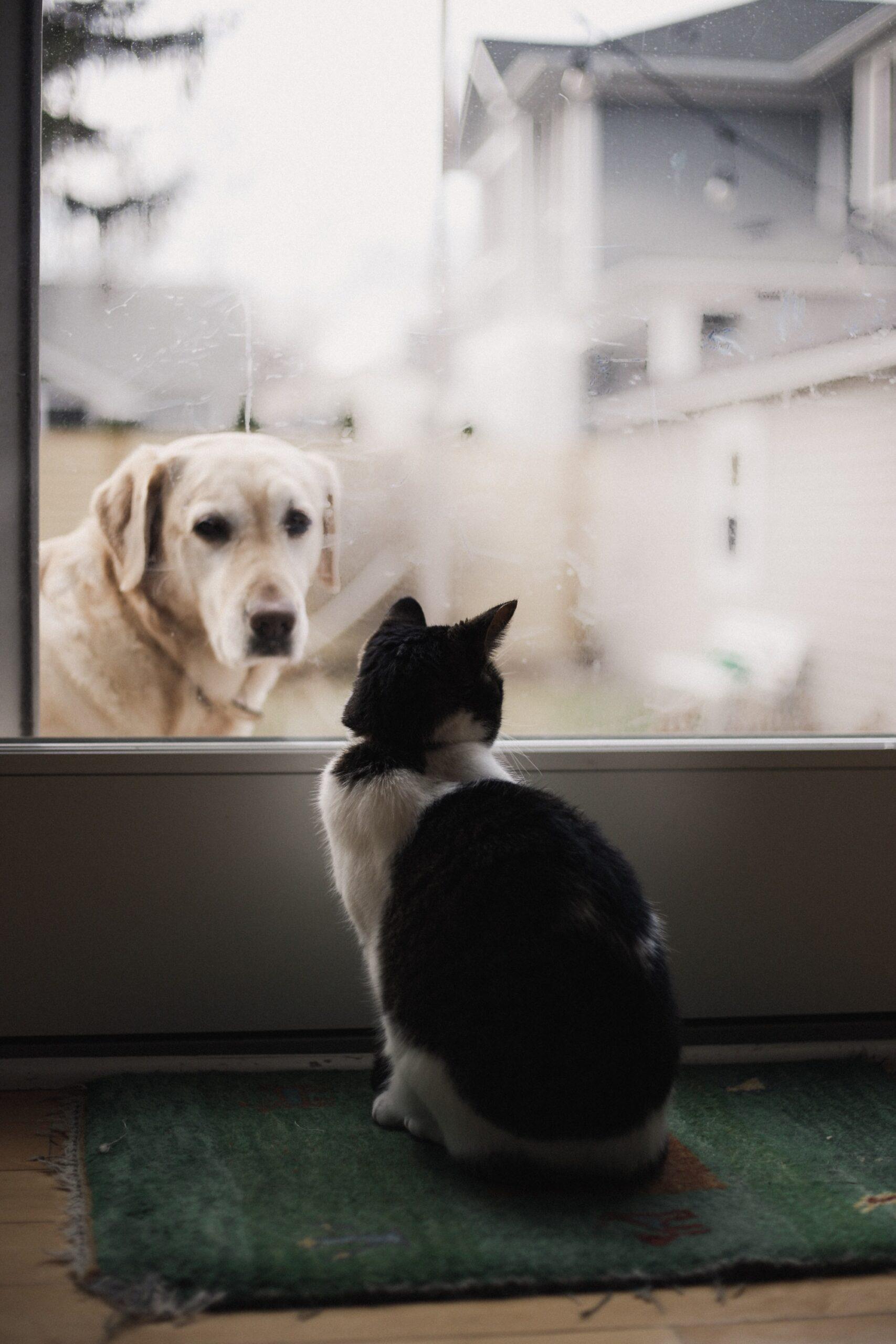 alexis-chloe-Golden R looking through patio window door at black and white cat-unsplash