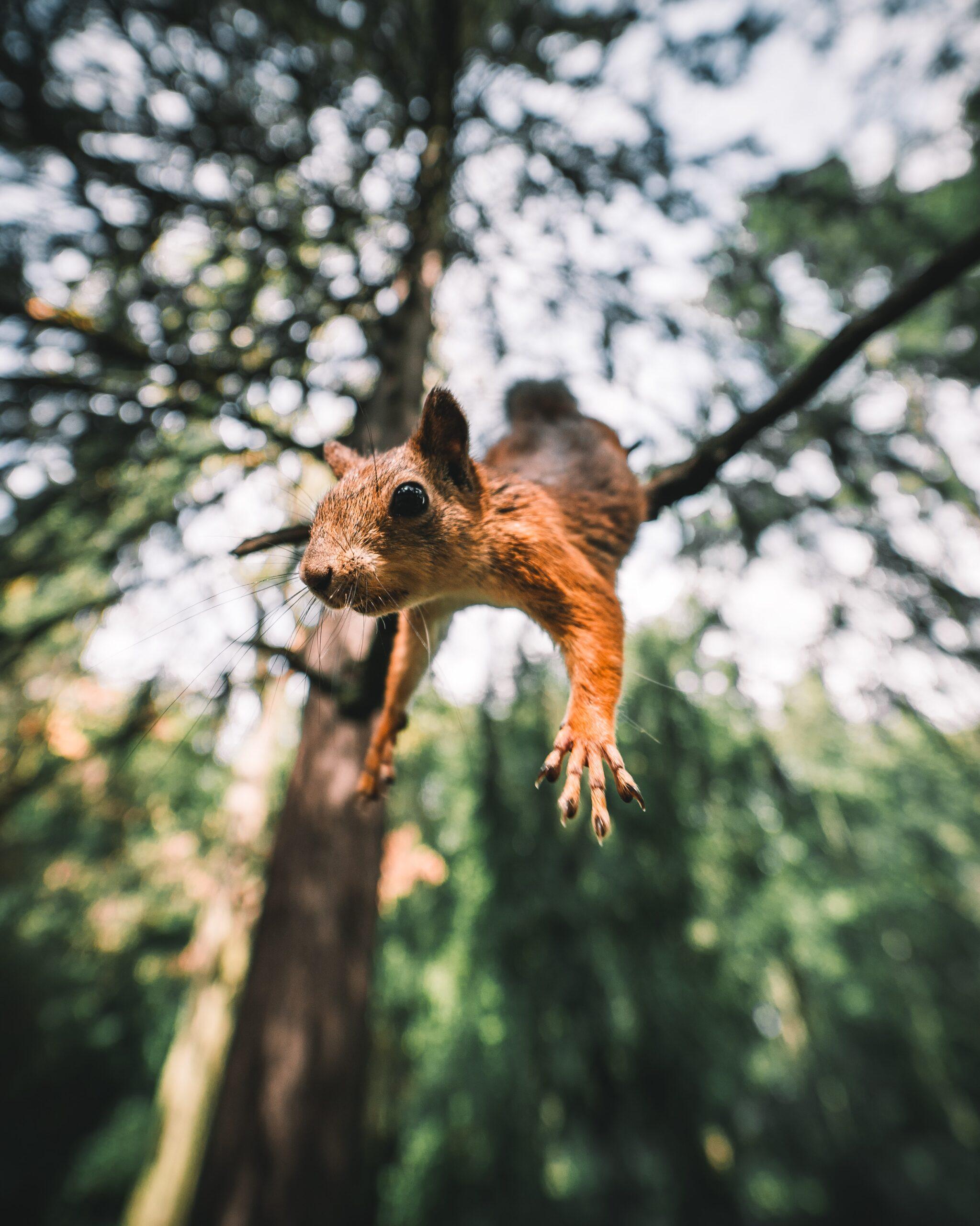 andrey-svistunov-Squirrel in mid launch up close-unsplash