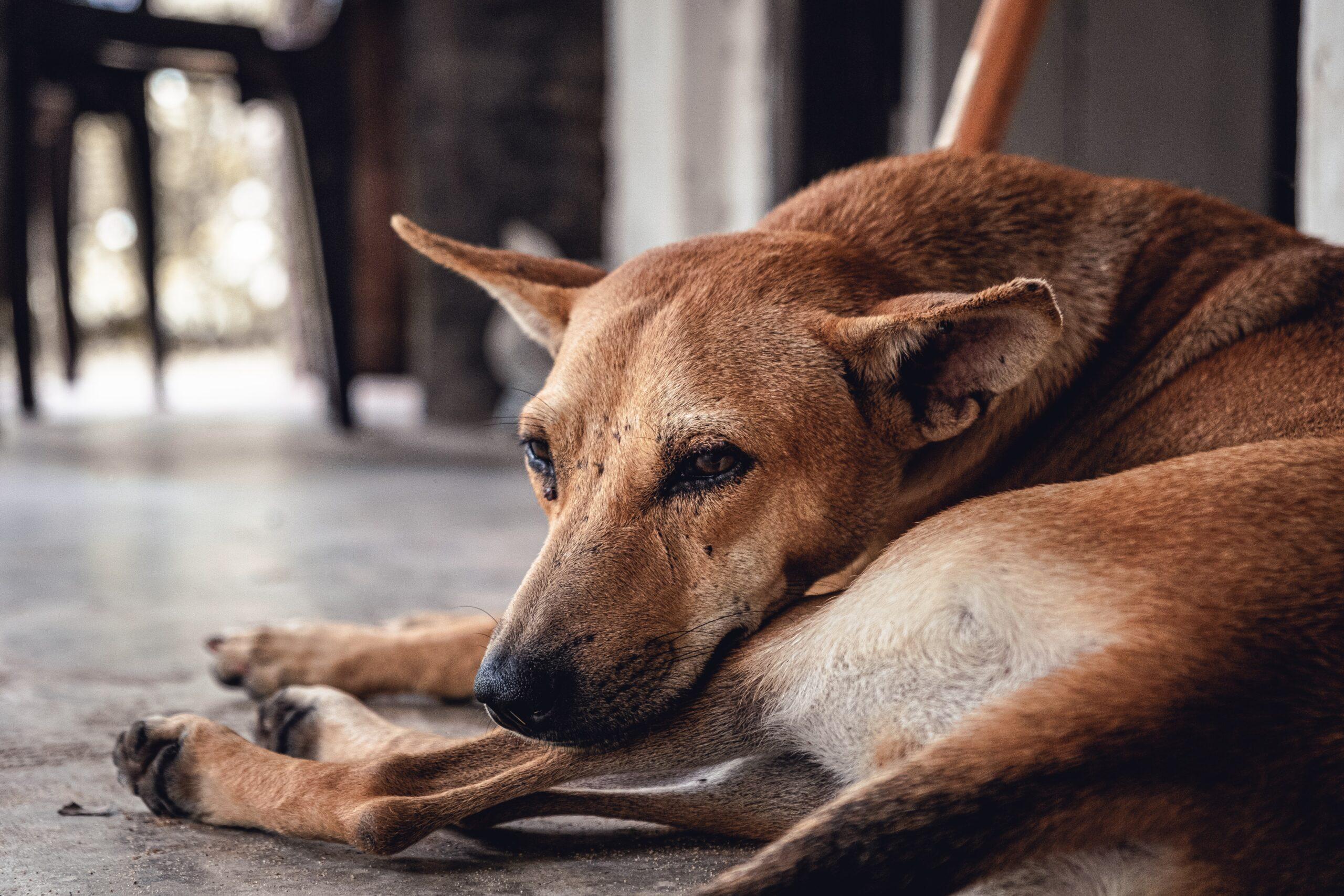 daniele-franchi-beautiful dog in repose-unsplash