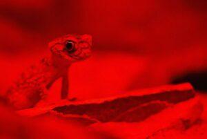 david-clode-Chameleon in Red Light-unsplash
