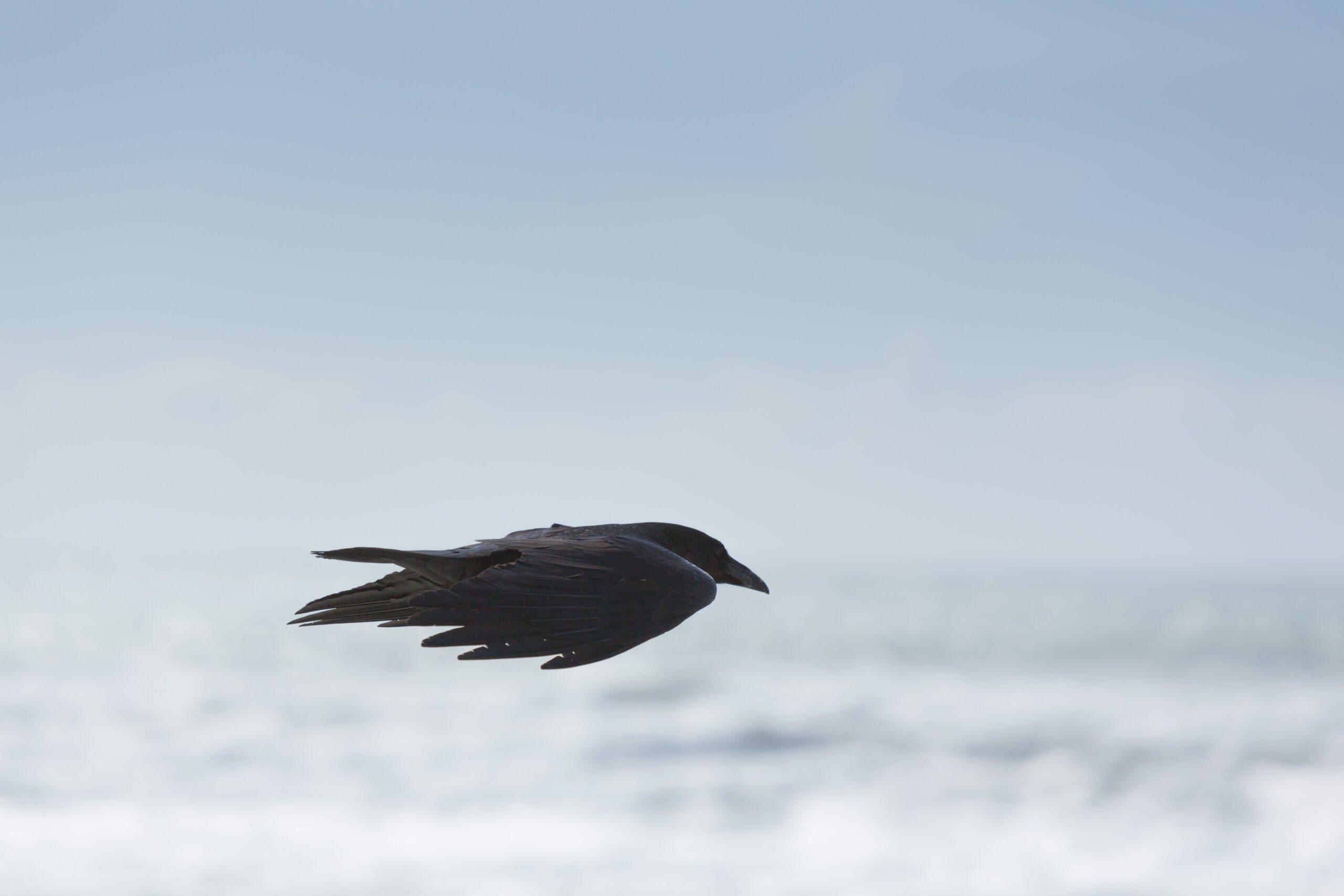 ignacio-giri-Black Crow in flight-unsplash