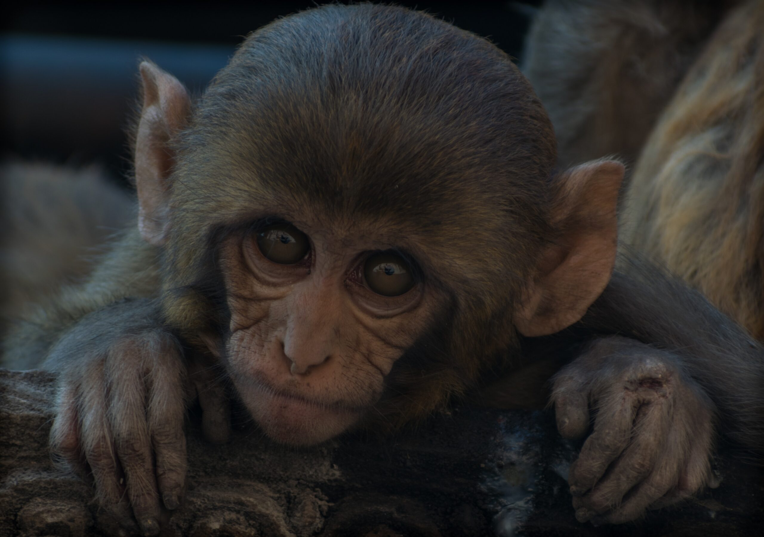 maskedemann-Baby Monkey up close Nepal -unsplash