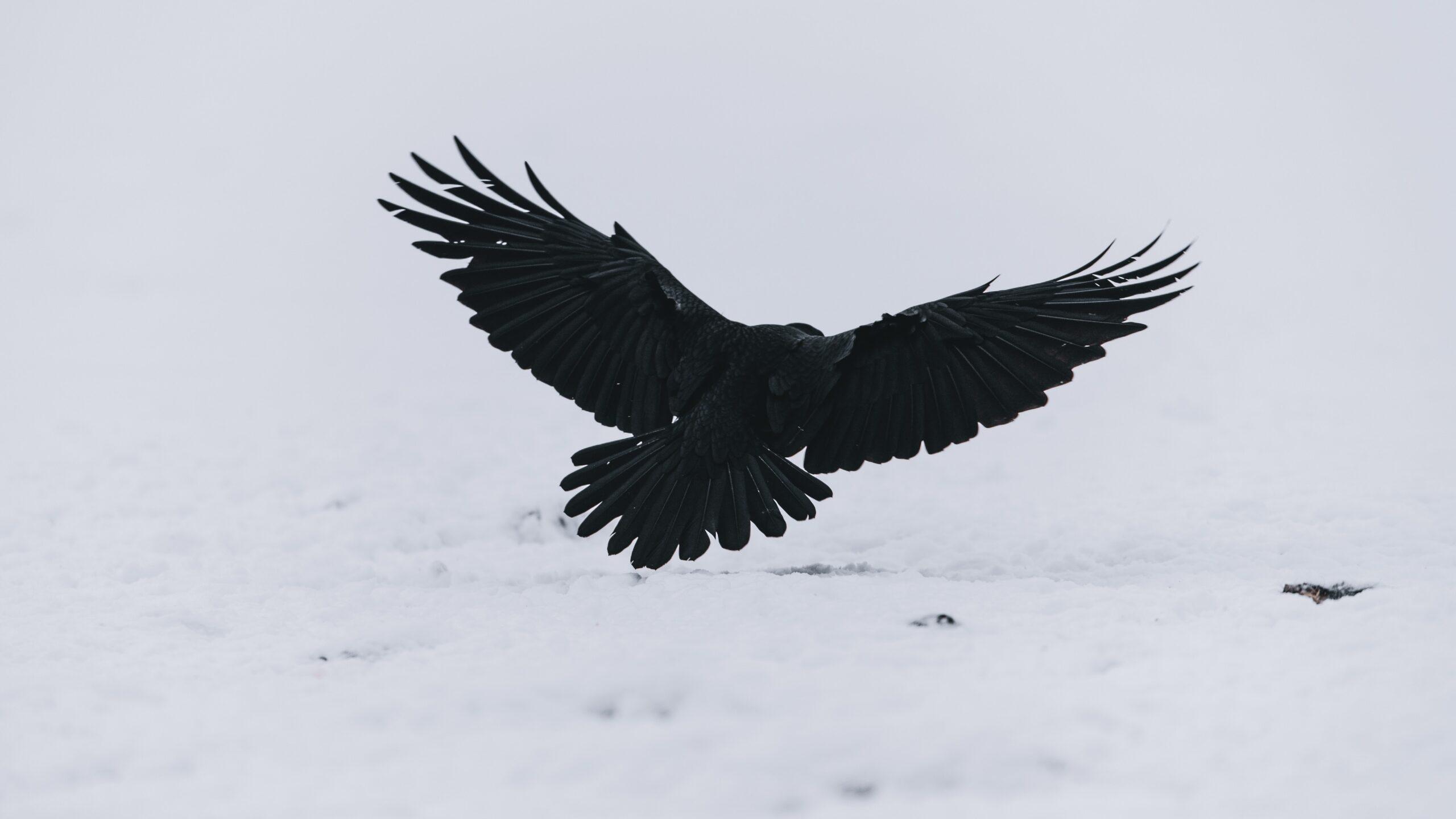 niklas-veenhuis-Black Crow in flight wings extended-unsplash