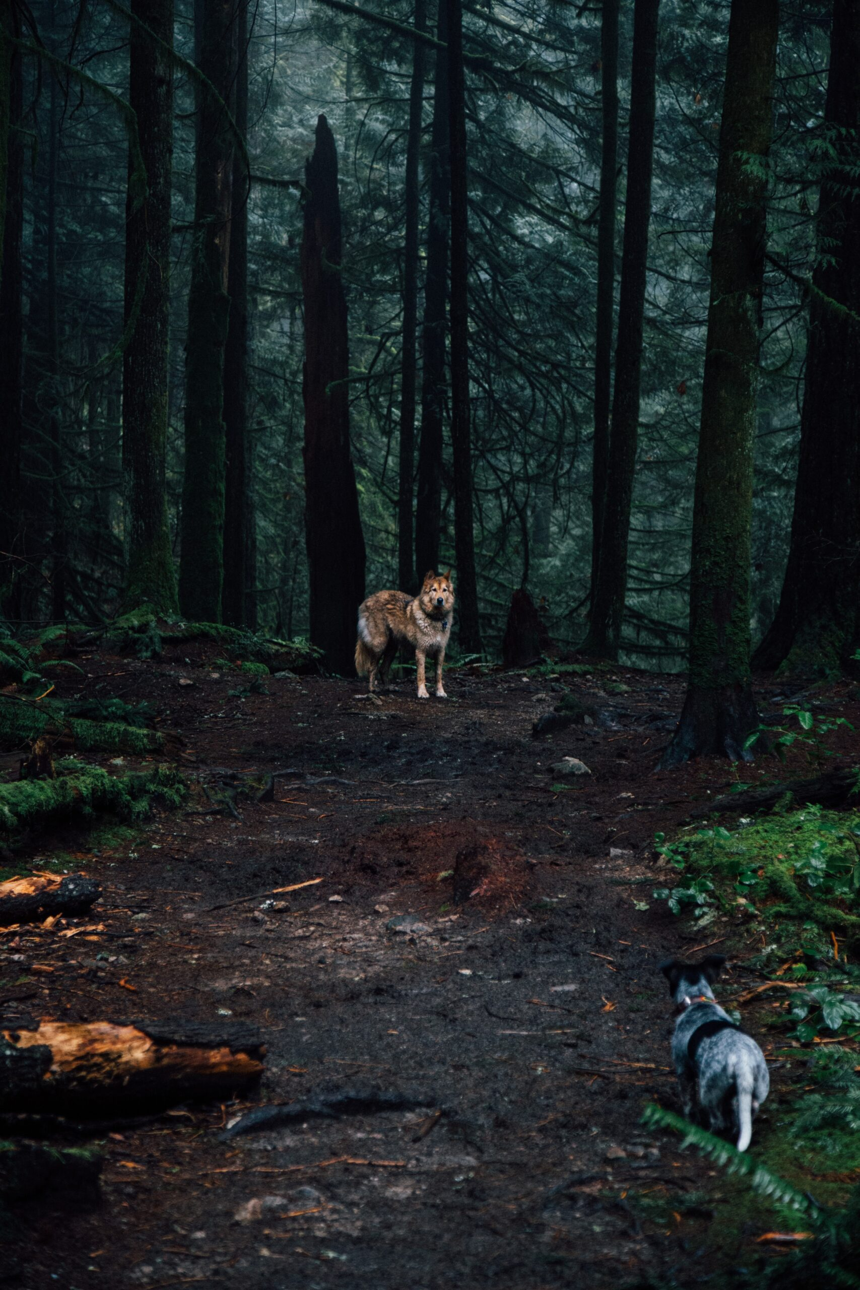 gabrielle-mustapich-Small dog meets wolf in Woods standoof and curious-unsplash