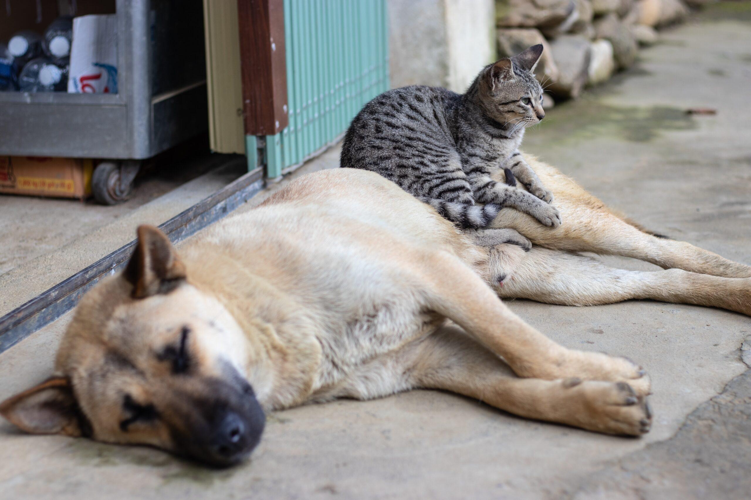 glomad-marketing-German Shephard sleeping with a cat sleeping on hind-unsplash