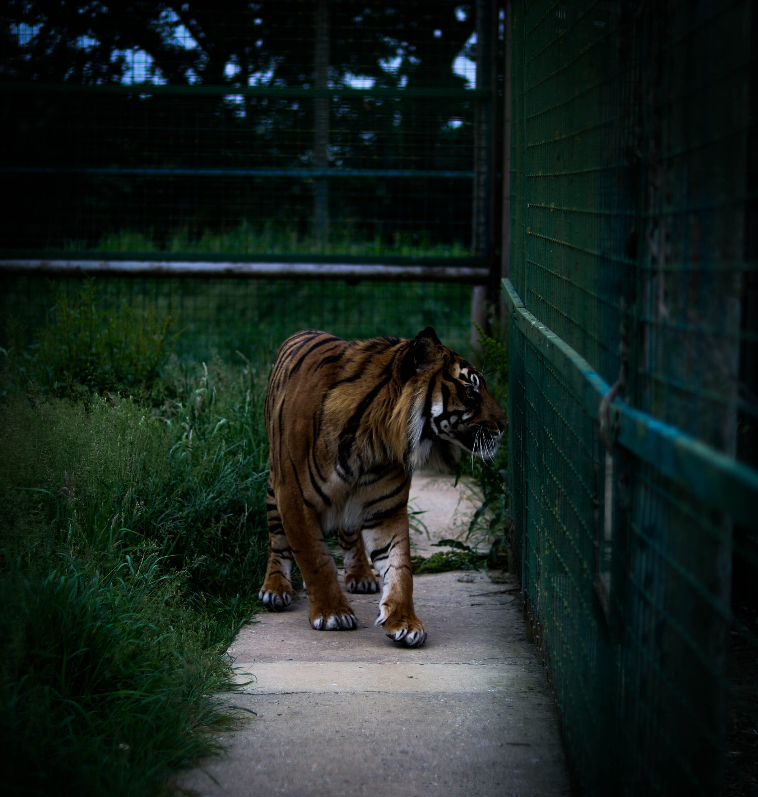 jamie-turner-Bengal Tiger pacing the cage-unsplash
