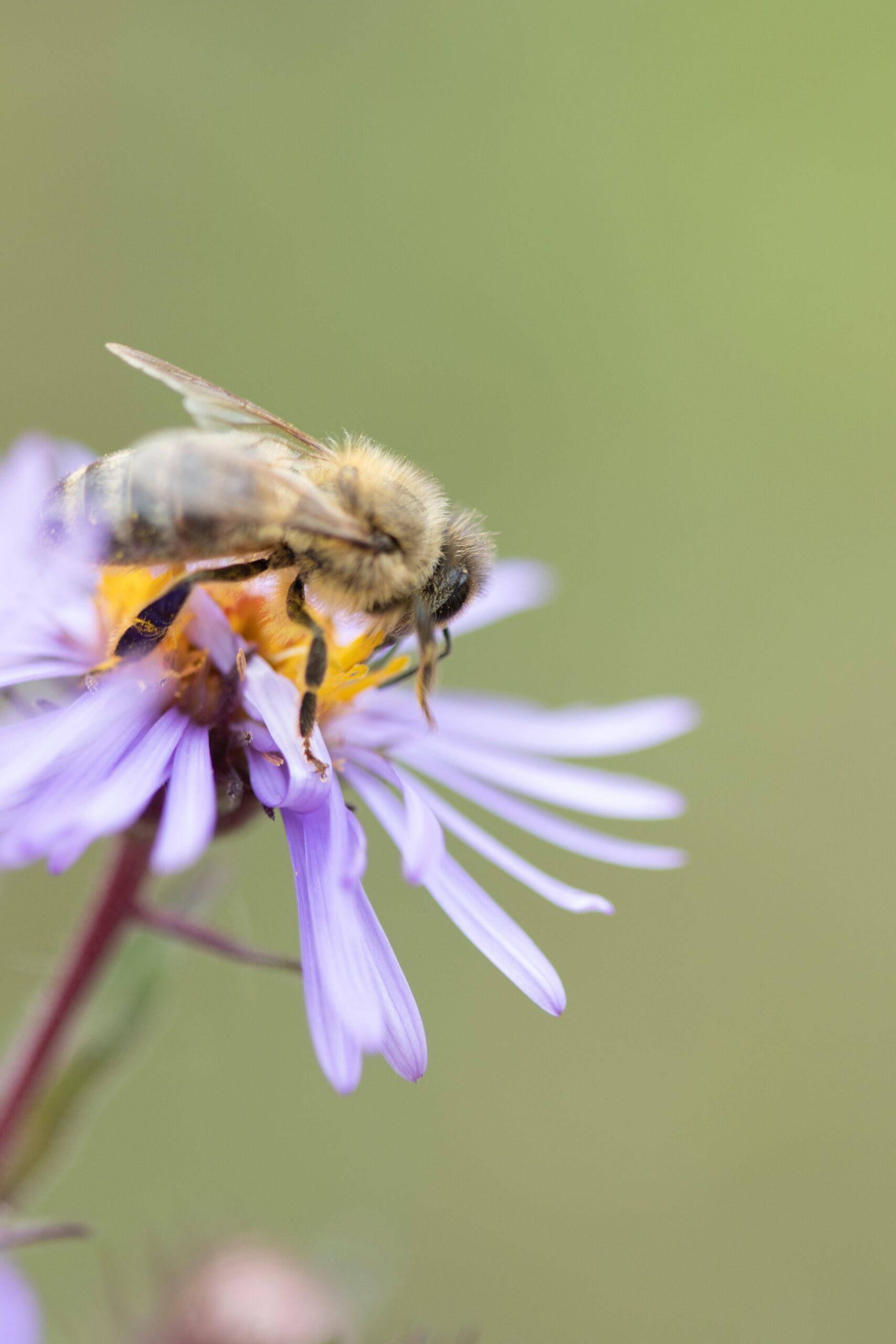 cameron-ballantyne-smith-Honey Bee on Purple Coneflower collecting nectar up close shot-unsplash