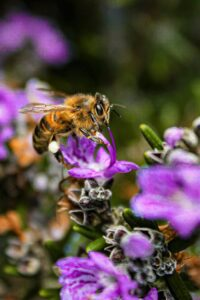 cassandra-Honey Bee on flower petal collecting nectar-unsplash