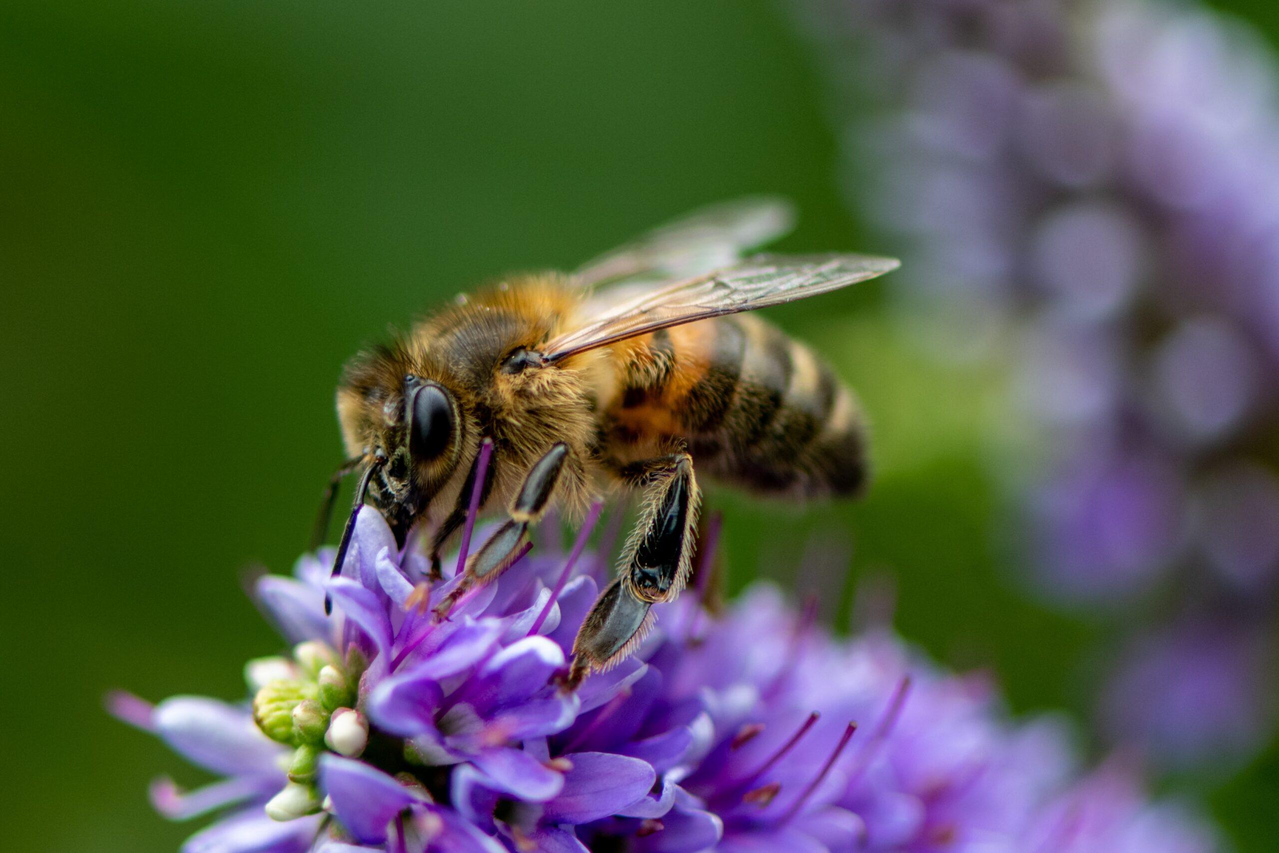 neil-harvey-Honey Bee up close on flower petal collecting nectar-unsplash