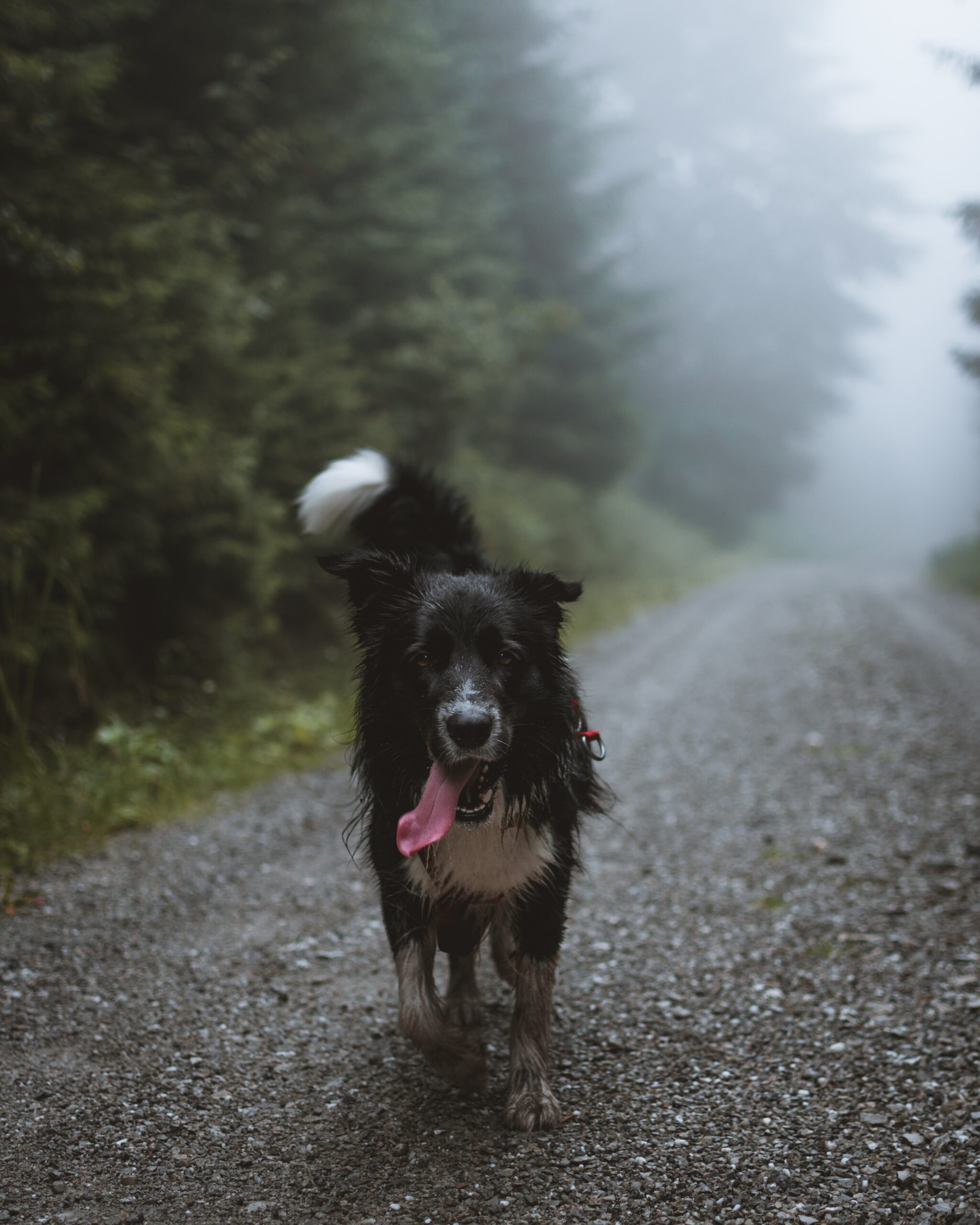 tadeusz-Wet border collie mut running on dirt road-unsplash