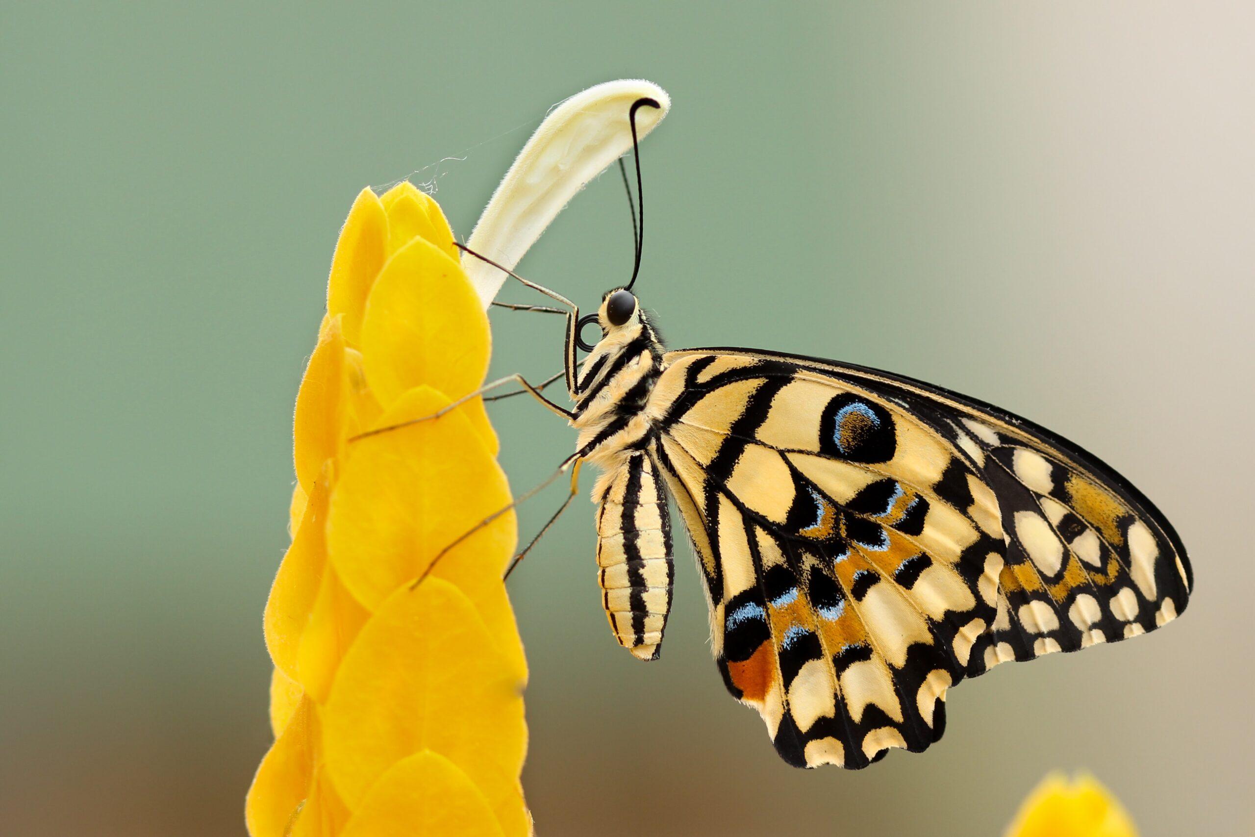 Monarch on yellow bud flower by boris smokrovic