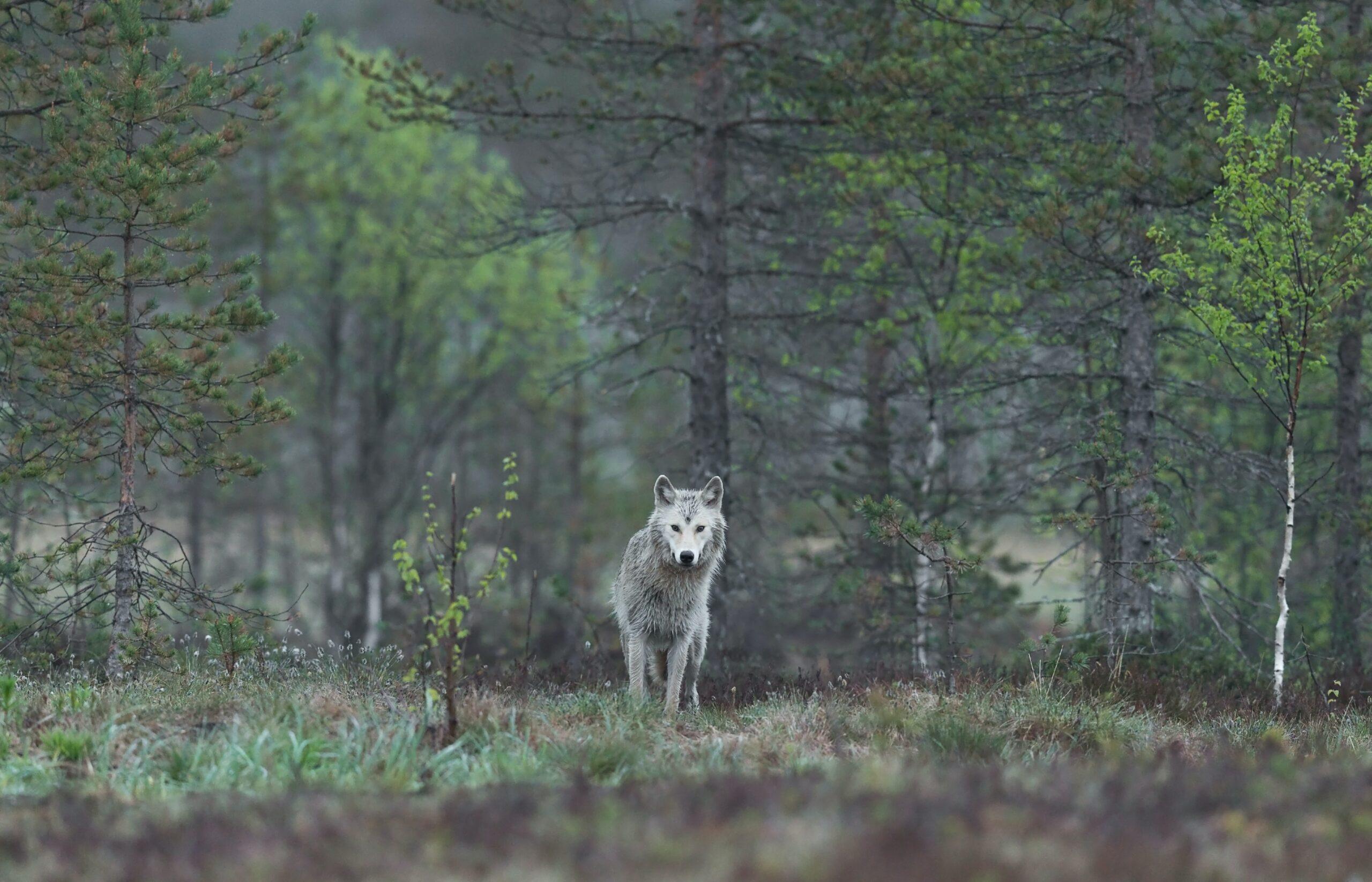 hans-veth-female wolf in field near forest edge-unsplash
