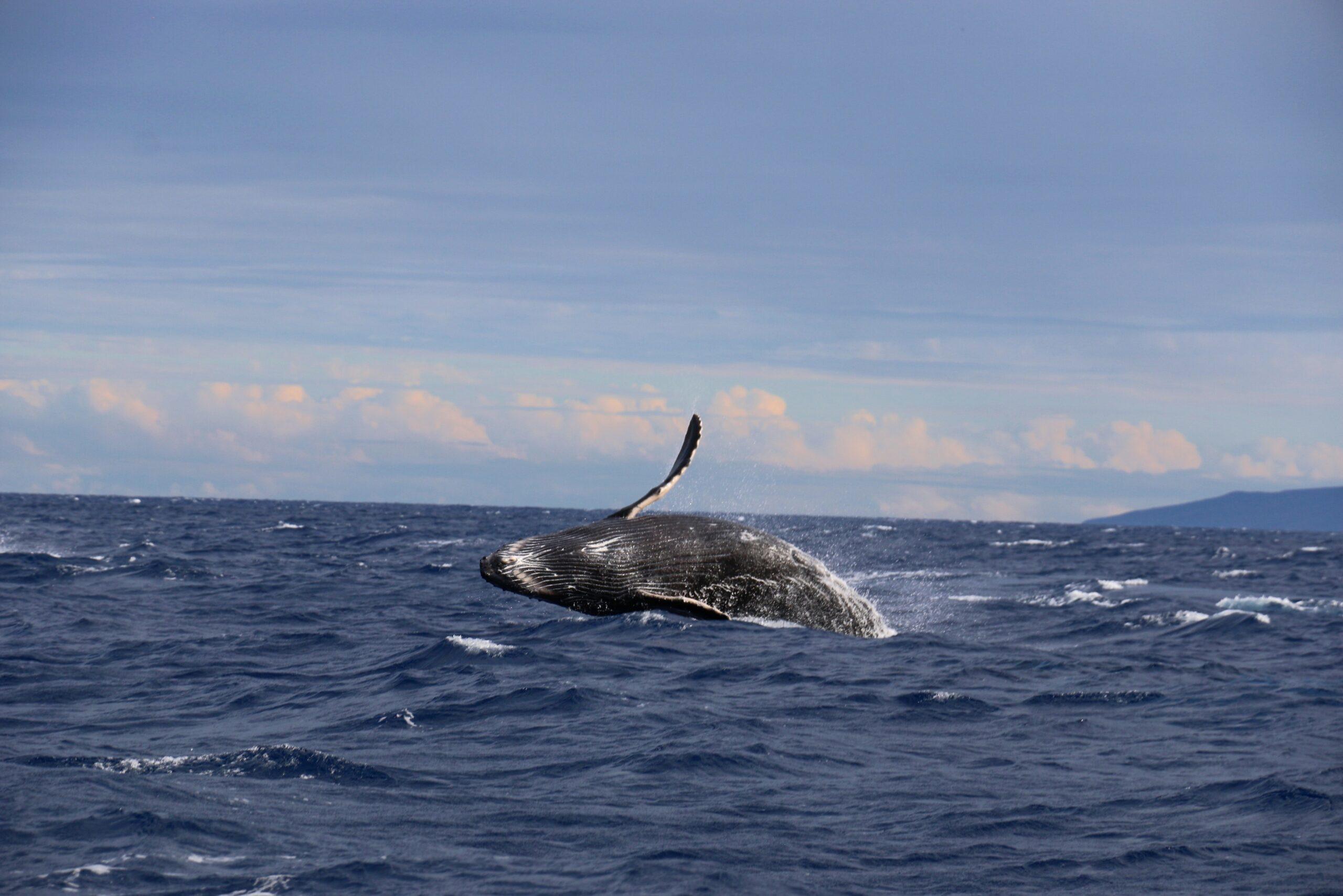 joshua-sukoff-Whale surfacing-unsplash