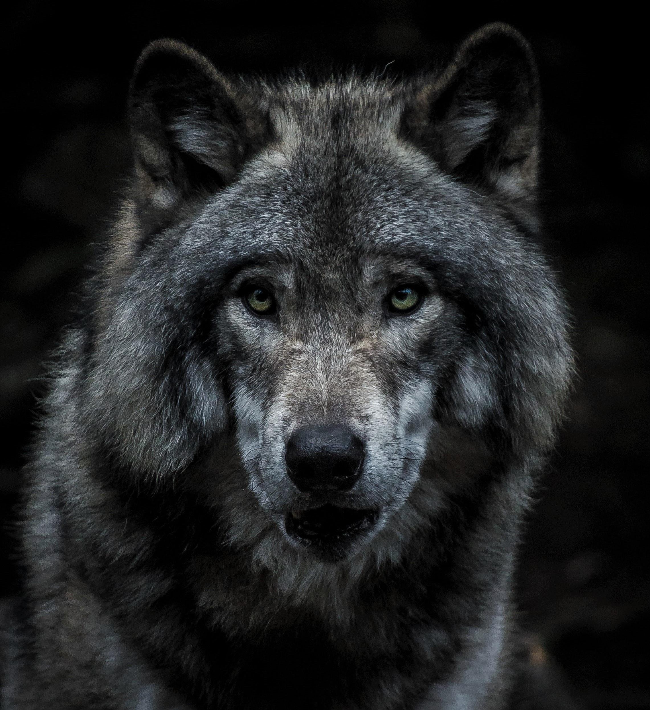 marc-olivier-jodoin-Wolf up close-unsplash