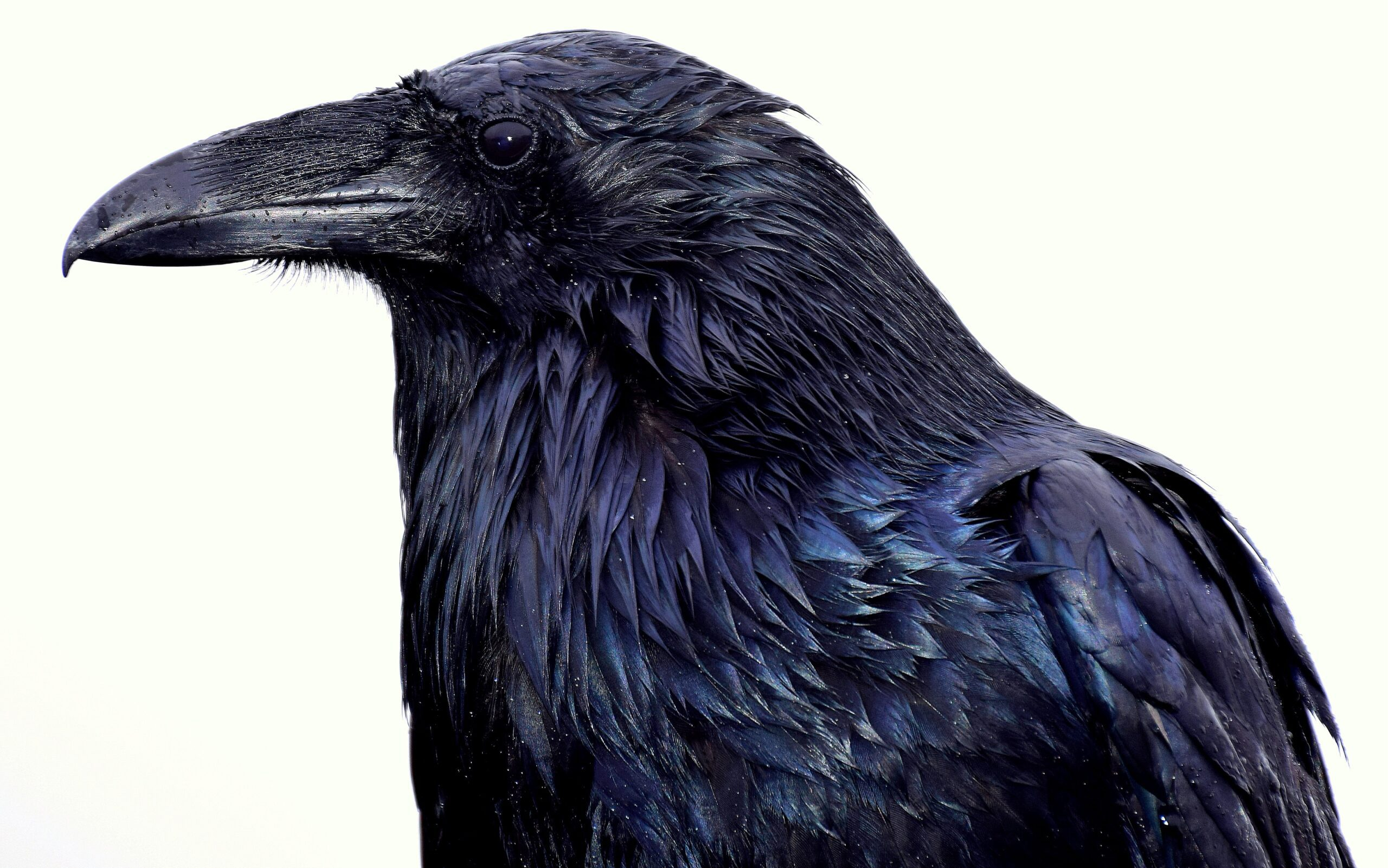 Raven by Meg Jerrard