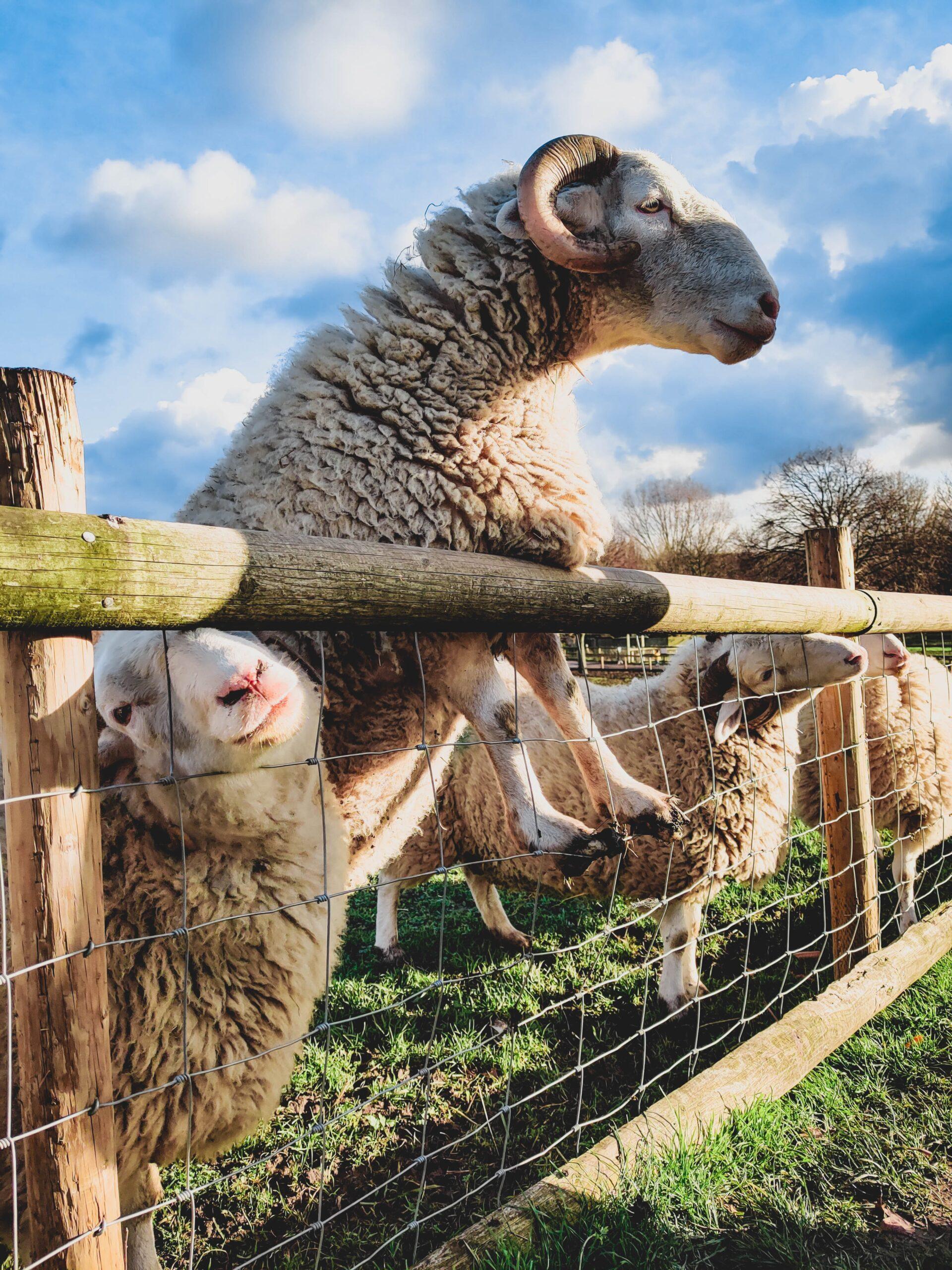 migle-siauciulyte- Image of Sheep at Fence on Unsplash