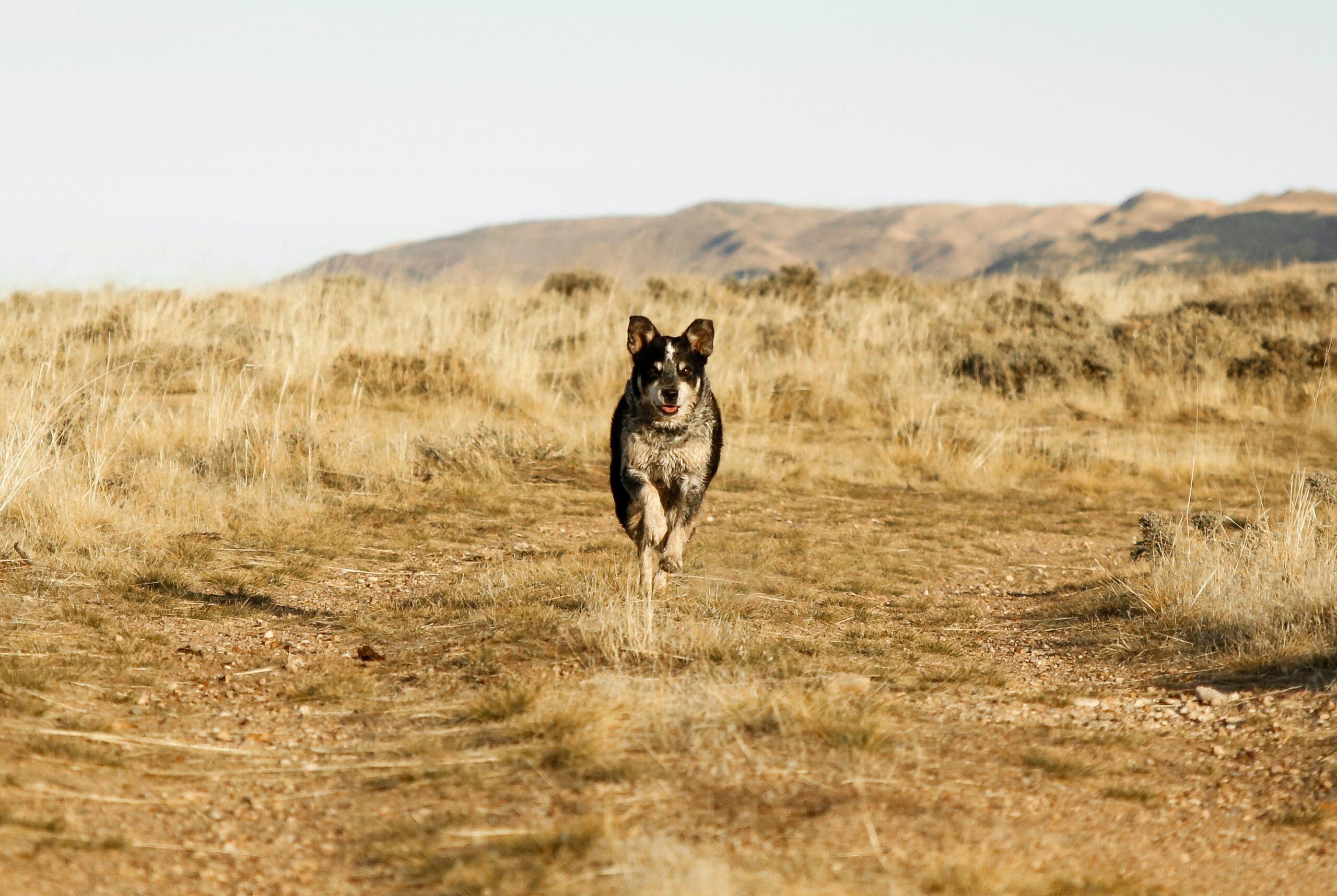 patrick-hendry-border collie small mut in mountain field full run-unsplash