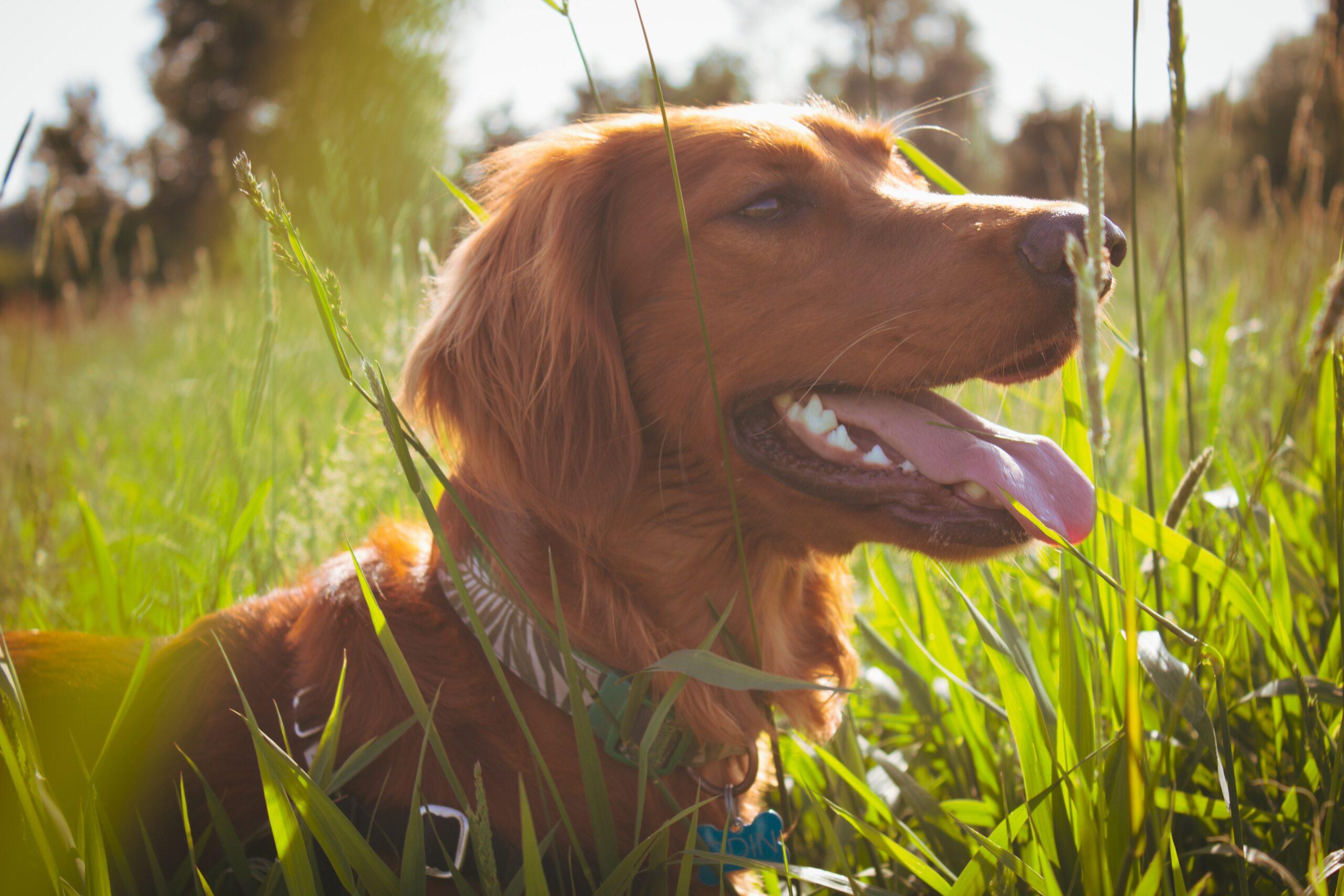 ryan-stone-dog in field-unsplash