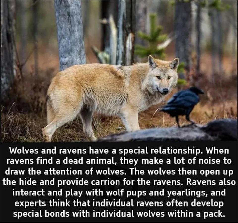 Wolves and Ravens.jpeg
