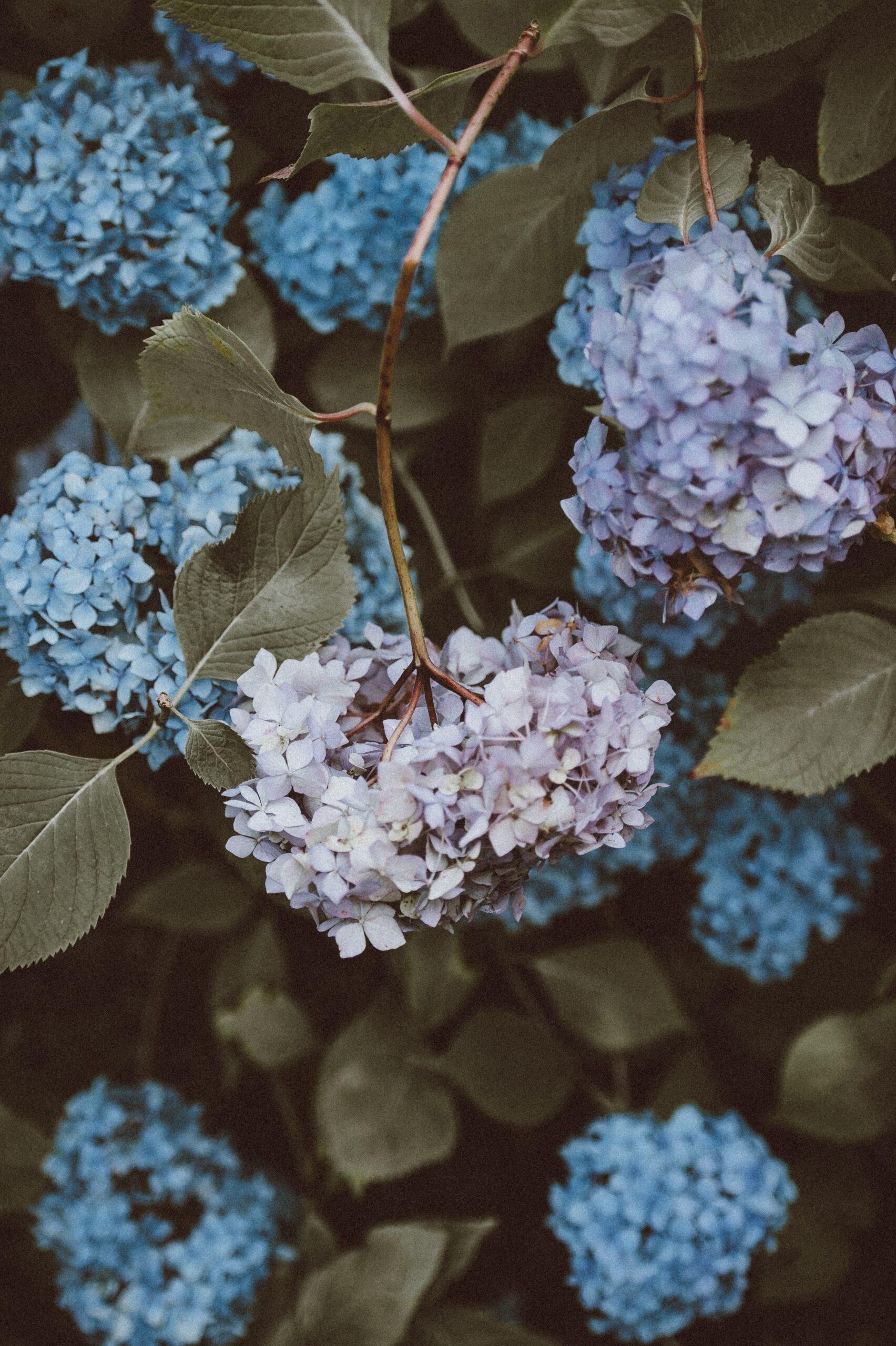 annie-spratt-Blue Hydrangea-unsplash