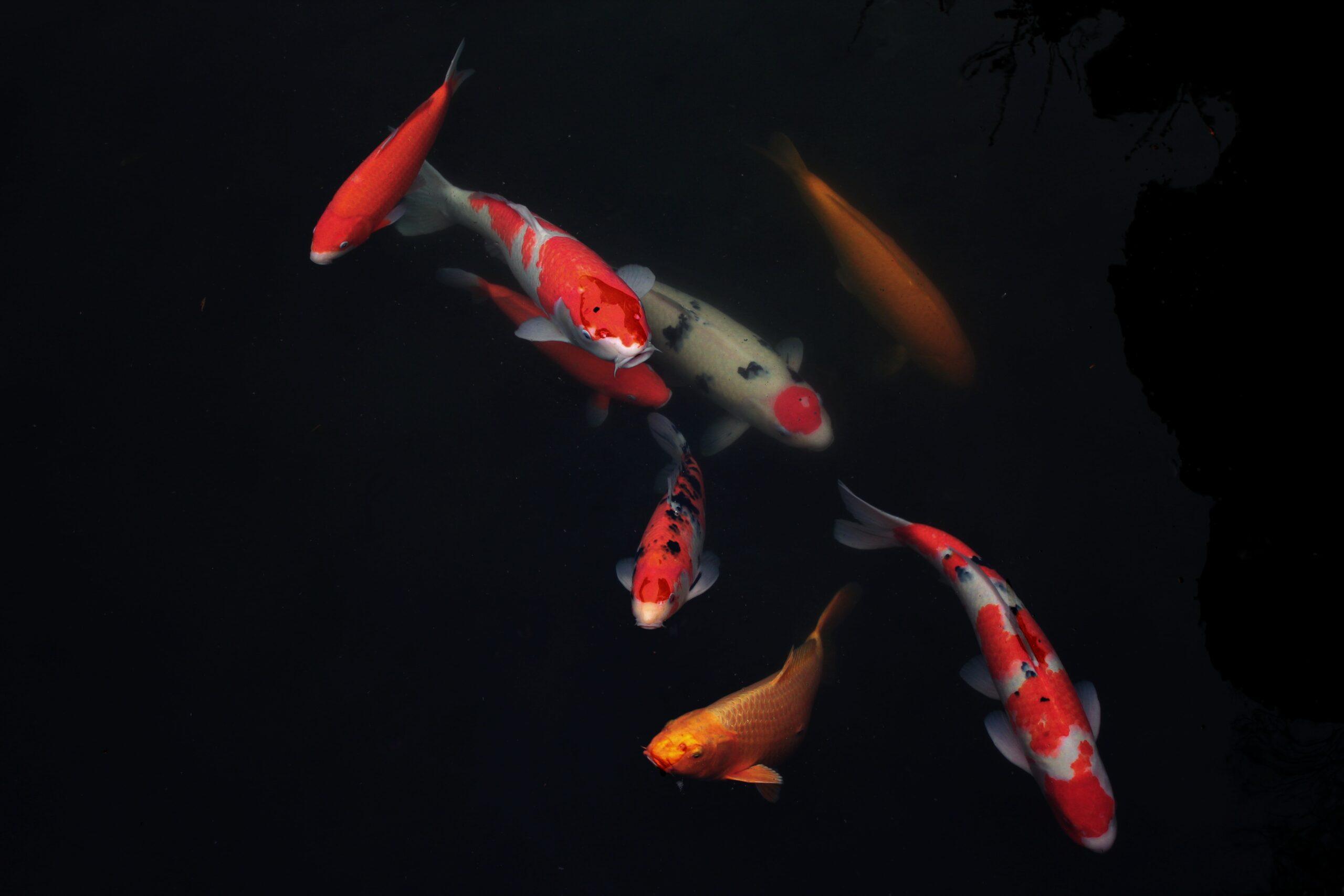 tifenn-degornet-Large Japanese Koi fish in pond-unsplash