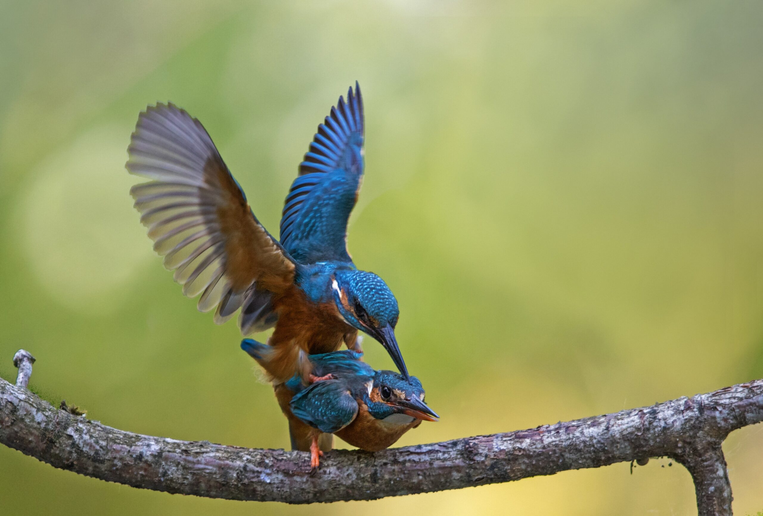 Bluebirds copulating on tree branch by dorothea oldani aldp