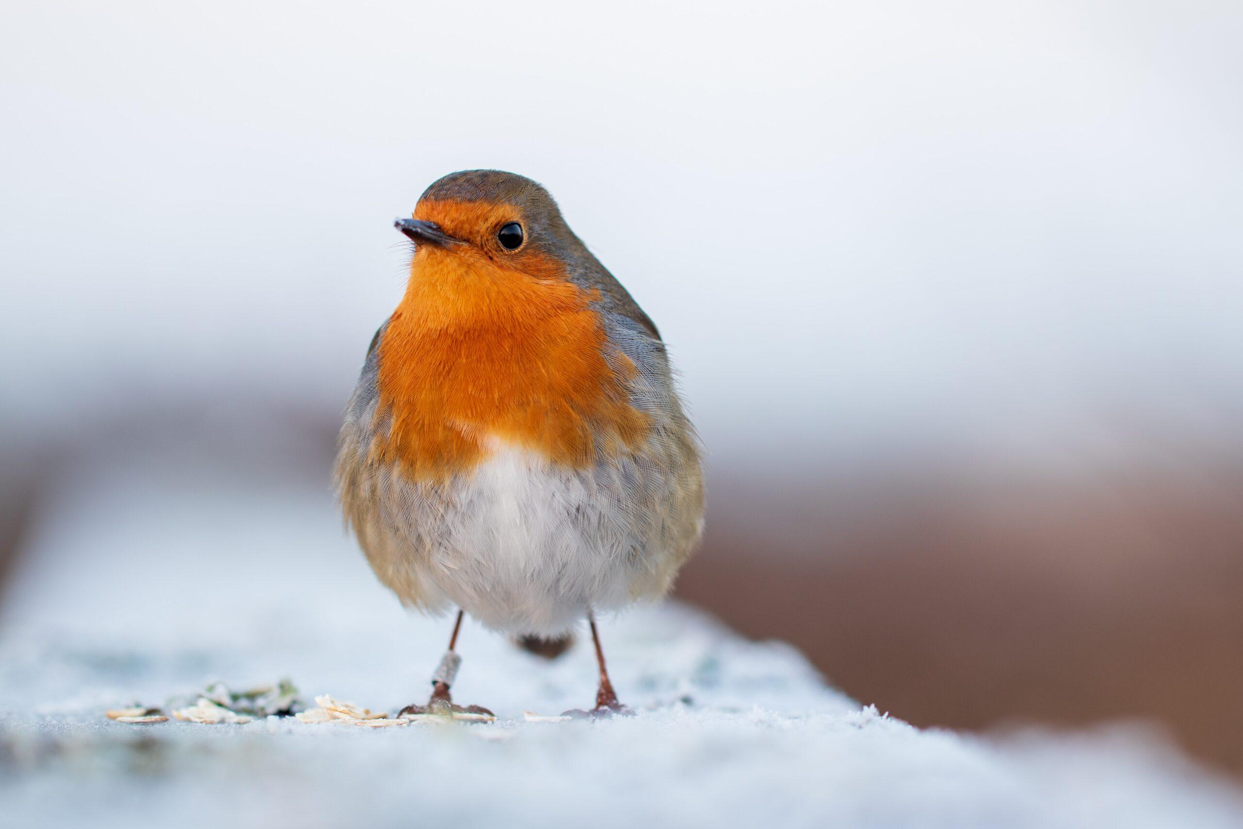 pete-godfrey-Orange breasted bird full chested_o-unsplash