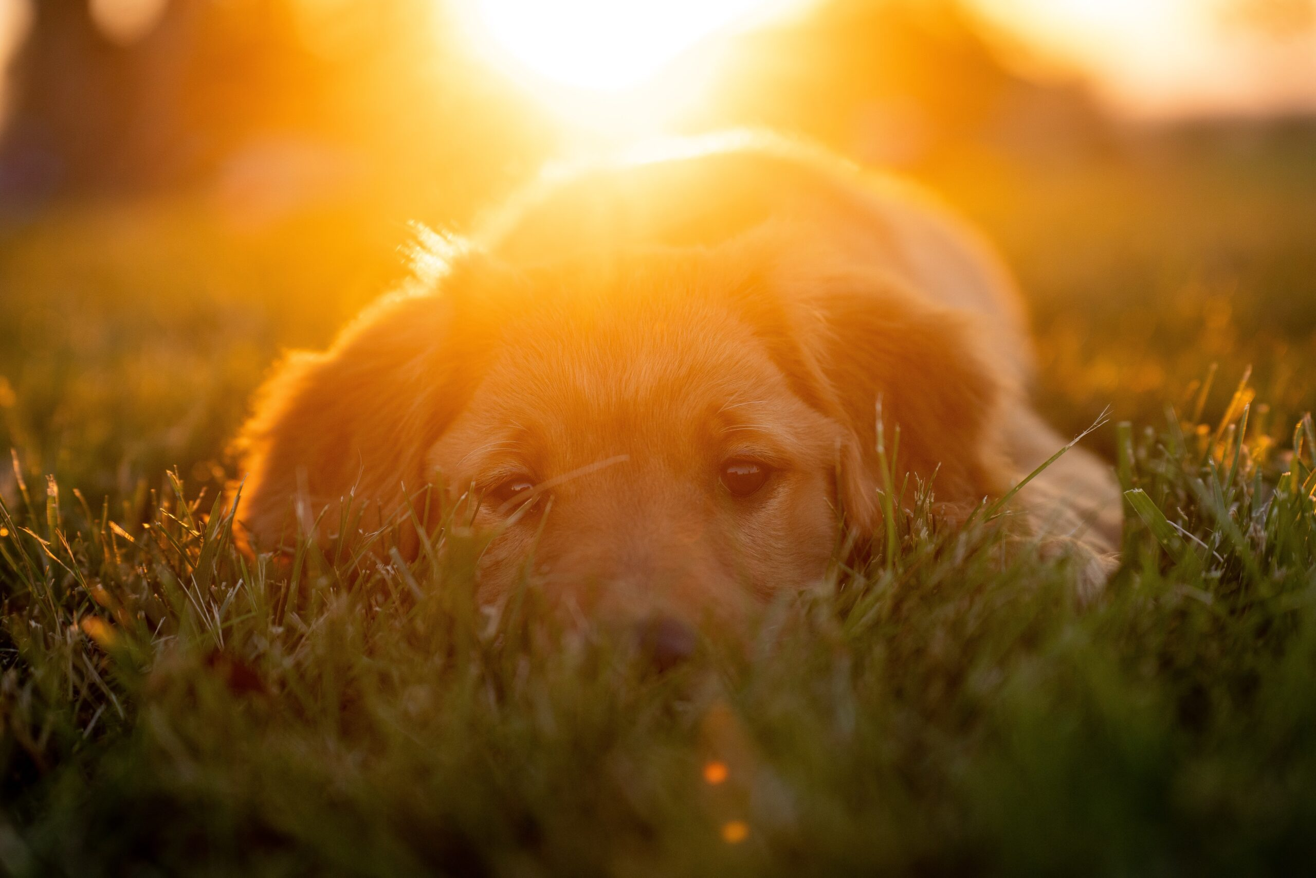 tim-umphreys-Golden lab lying in the summer grass with sun setting behind-beautiful brown eyes-E-unsplash