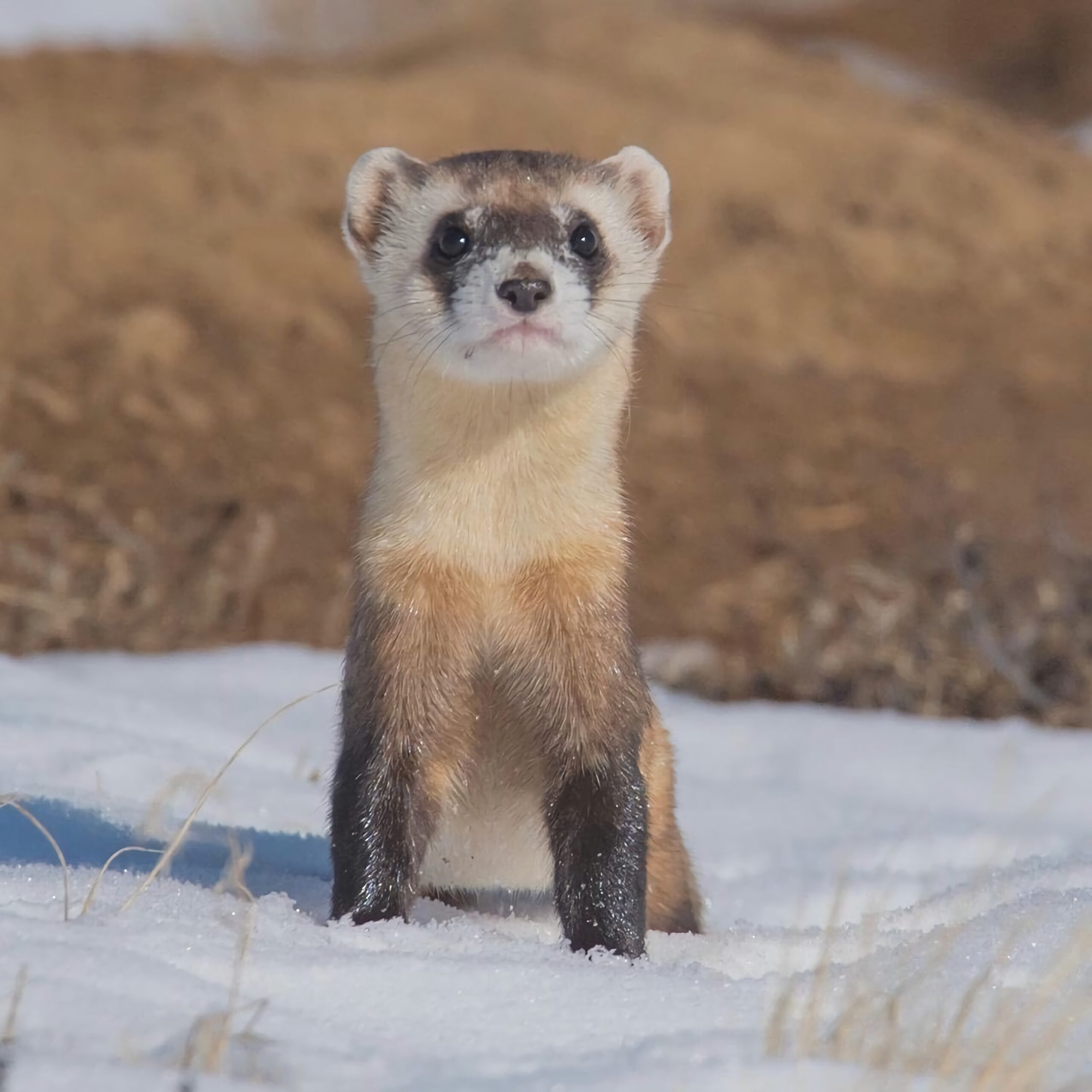 Weasel in snow by Rohan Chang from Unsplash directory