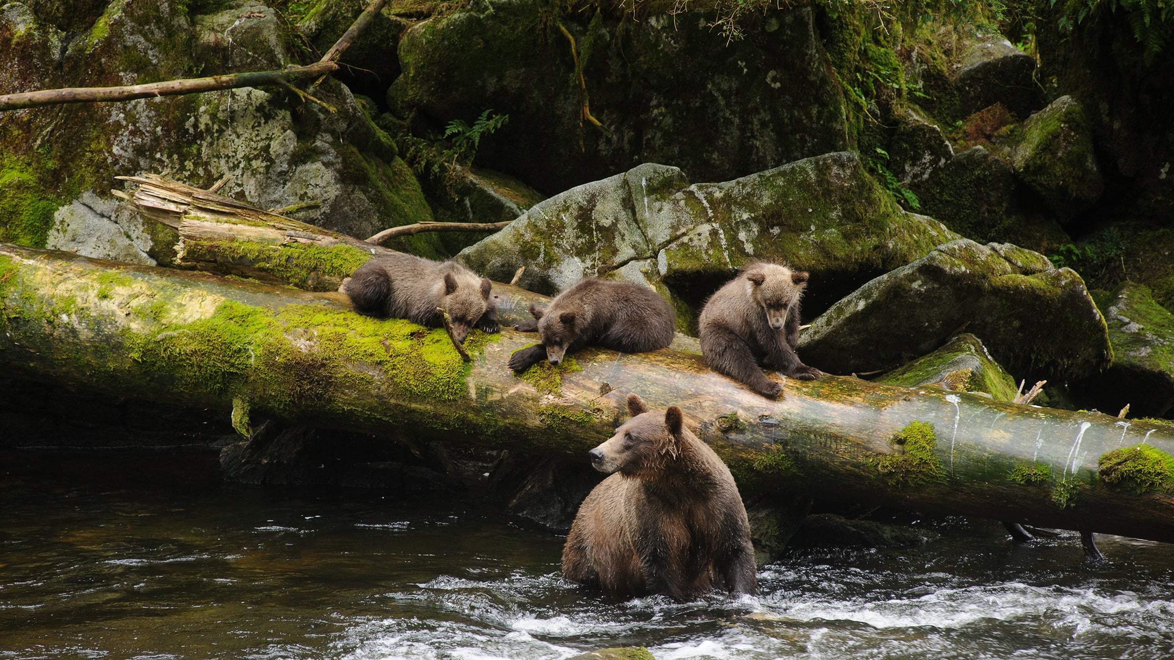 tongass_h bears in water